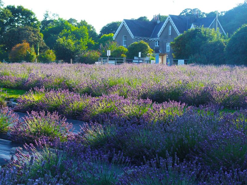 Wexford Lavender Farm – Share our Passion for Purple